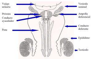 Aparato_reproductos_masculino1